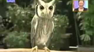 Transformasi Burung Hantu Ini Menakjubkan