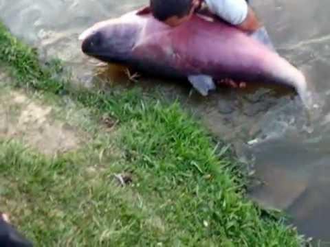 pesqueiro do veio - carpa chinesa 47 k  (PARTE 2)