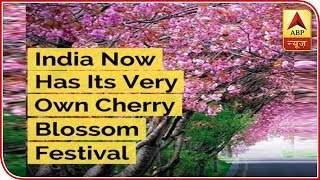 India Now Has Its Very Own Cherry Blossom Festival & It's Happening In Shillong - ABPNEWSTV