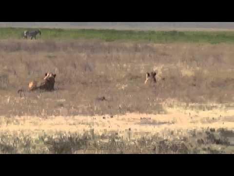 Africa Salvaje - Impresionante Imagenes - Leones Cazando Cebras