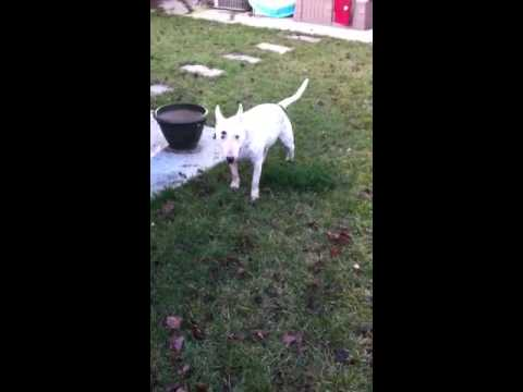 Sacramento Pet Sitting: Bull Terriers at play