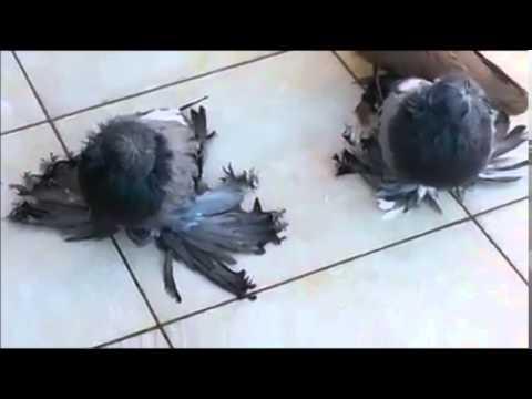 Her Türden Süs Güvercinleri