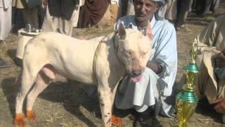 Пакистанский бультерьер (гультерьер, или гультер) - Страница 10 Mqdefault