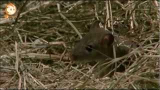 264 Ratten - Der Fänger von Bärstadt