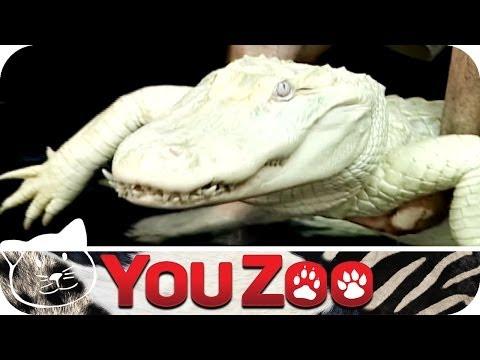 Albino Krokodil │YouZoo