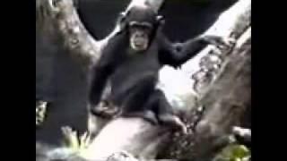 Шемпанзе пердит