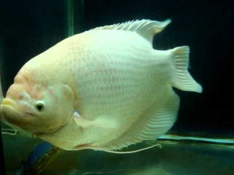 Giant Gourami_1.avi