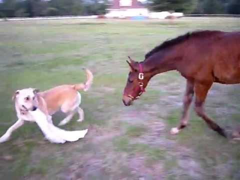 Igra konja i psa