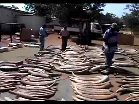 Earth Report - Ivory Poaching Wars