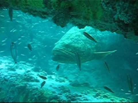 Goliath Grouper - Scuba Diving Clearwater Florida -  Tanks-A-Lot Dive Trips!
