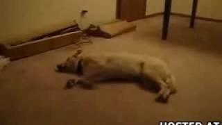 目を覚ました犬が寝ぼけてダッシュ。壁に頭ぶつけて我に返る。