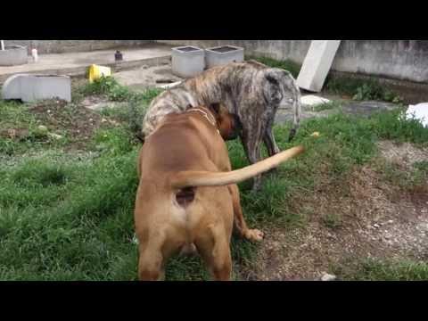 Ehdzi i Aron parenje - Dogo Canario Dogs Mating