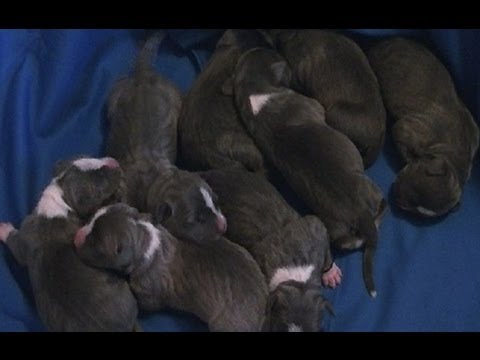 Remy The Blue Pitbull - Gave Birth To 8 Beautiful Puppies