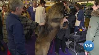 Dogs Pampered Before Prestigious Westminster Show - VOAVIDEO