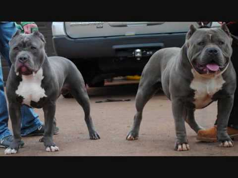 American Bully blue pitbull blue pitbulls blue pitbull for sale blue pitbull