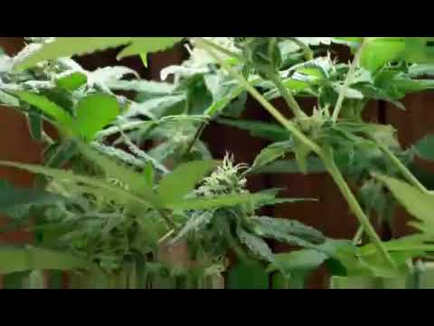 Ams Marijuana Grow In Aerogarden Veggie Pro VidoEmo Emotional Video Unity