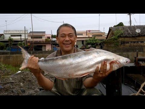 Câu Cá Bông Lau - Hugo Bông Lau Cửa Sông Định An Ngày 22/10/2014.
