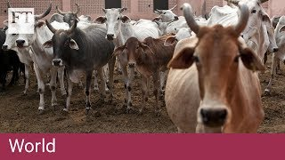 Sacred cows a growing nuisance in India - FINANCIALTIMESVIDEOS