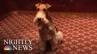 King Of The World: Meet The Westminster Kennel Club's Top Dog | NBC Nightly News - NBCNEWS