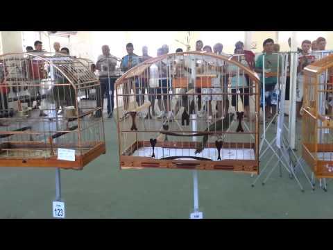 Trinca Ferro Canibal 239 cantos / Campeão no torneio em Florianópolis / Dia 23/12/2012