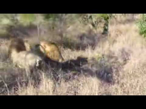 Lions killing lion part 3