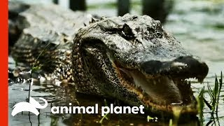 The Team's Most Challenging Alligator Catches! | Gator Boys - ANIMALPLANETTV