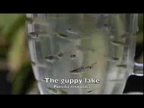 The guppy lake