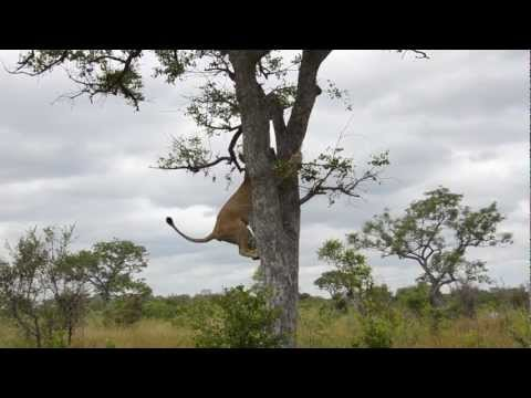 Epic video of lions vs hyenas