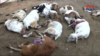ఊర కుక్కల దాడిలో 26 గొర్రెలు మృతి..| Dogs Attack on Sheep in Nirmal Dist | 26 Sheep Lost Life | CVR - CVRNEWSOFFICIAL