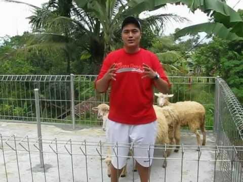 Kandang Sementara setelah perjalanan doddy domba di detuka farma