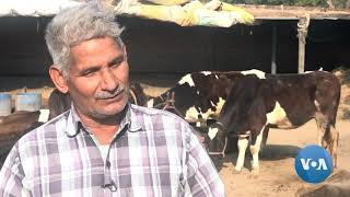 India's Farmers Threatened by Swelling Numbers of Stray Cows - VOAVIDEO