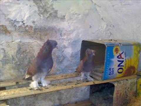 öz mardin güvercinleri