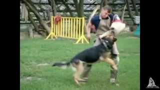 Дрессировка собак в группе на дрессировочной площадке.
