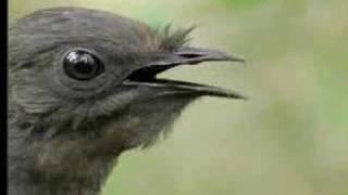 طائر ذو مقدرة هائلة على تقليد أي صوت يسمعه