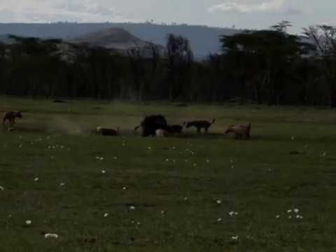 Rhinos save Buffalo from Hyena attack Rare footage