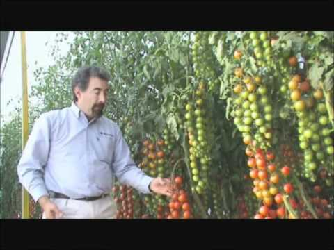 Agroscience - Tomate Cherry