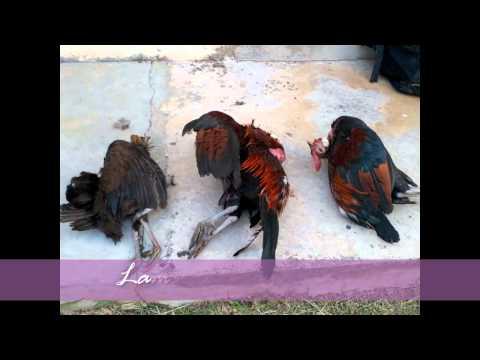 koleksi memikat ayam hutan