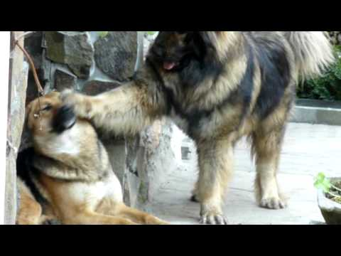 Caucasian shepherd dog in love ( NOX )