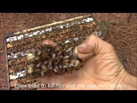 Rescued queen bee is singing in the cage.