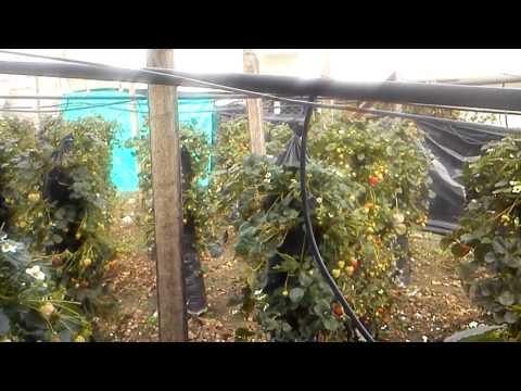 Hidroponia vertical de fresas 3