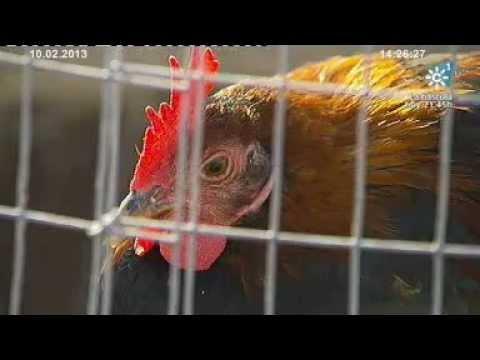 Gallos de Pelea en Andalucía. Tierra y Mar nº 956 Emisión: 10-02-2013