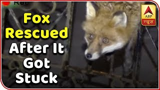 Fox rescued after it got stuck while trying to sneak through the gate. - ABPNEWSTV