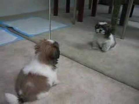 Gizmo the Shih Tzu - first bark (10 weeks old)