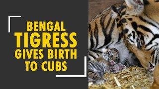 Bengal tiger gives birth to three cubs at a safari park in Siliguri - ZEENEWS