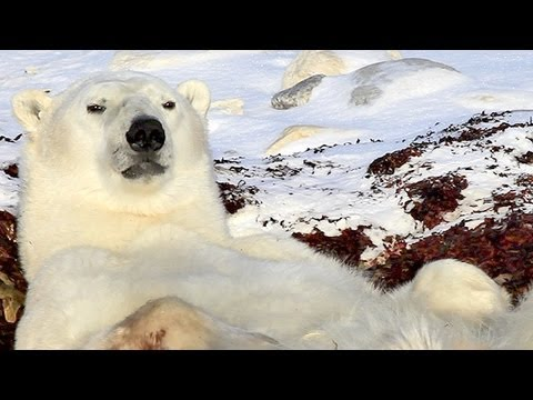 Laziest Polar Bear Ever! [HD]