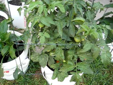 Container Gardening: Free 5 Gal. Bucket Garden