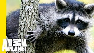 Animal Bites With Dave Salmoni | On the Rise: Raccoon Climbs Building in Daylight - ANIMALPLANETTV