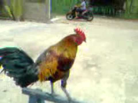 Jual Ayam Ketawa .3gp