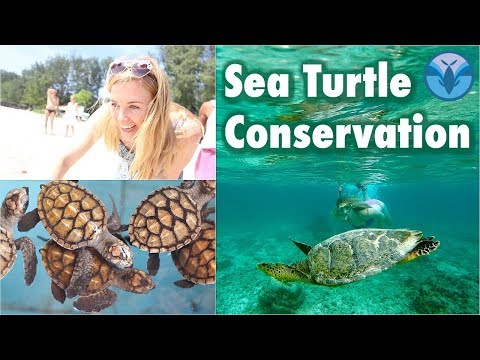 Cute Baby Turtles and Swimming with a Hawksbill! | Maddie Moate