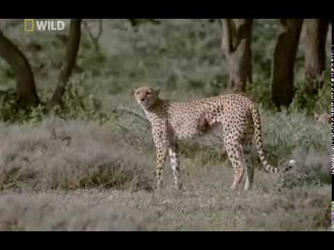 Cheetahs: Against All Odds Documentary